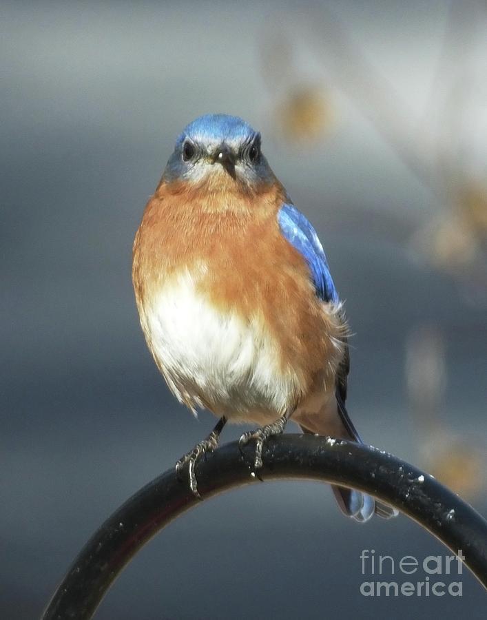 Bluebird 47 by Lizi Beard-Ward