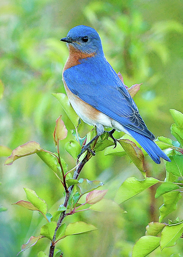 Bluebird Joy by William Jobes