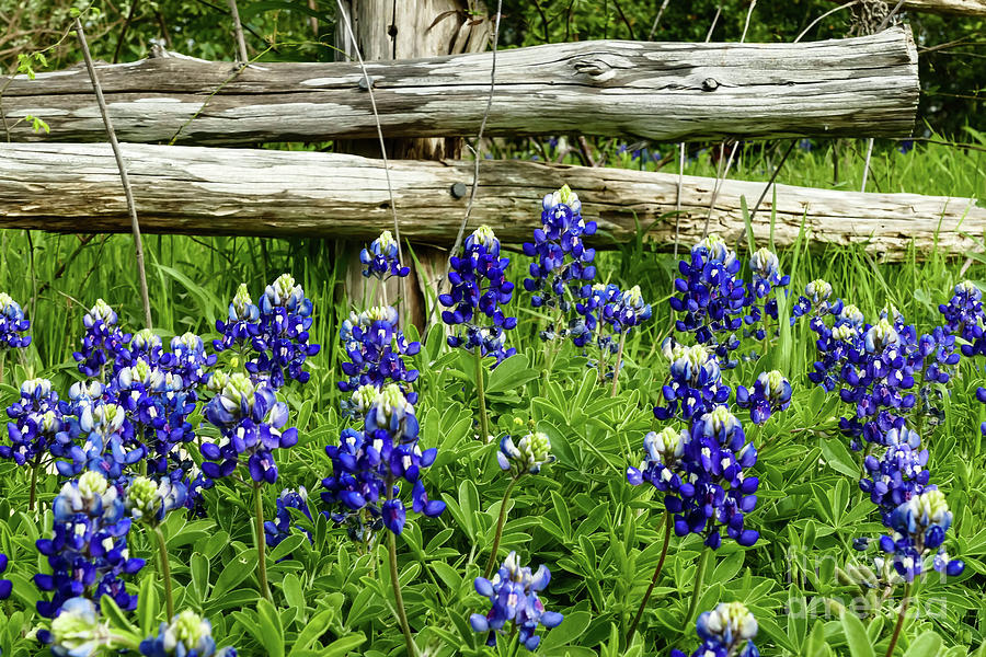 Bluebonnets 2 by Elijah Knight