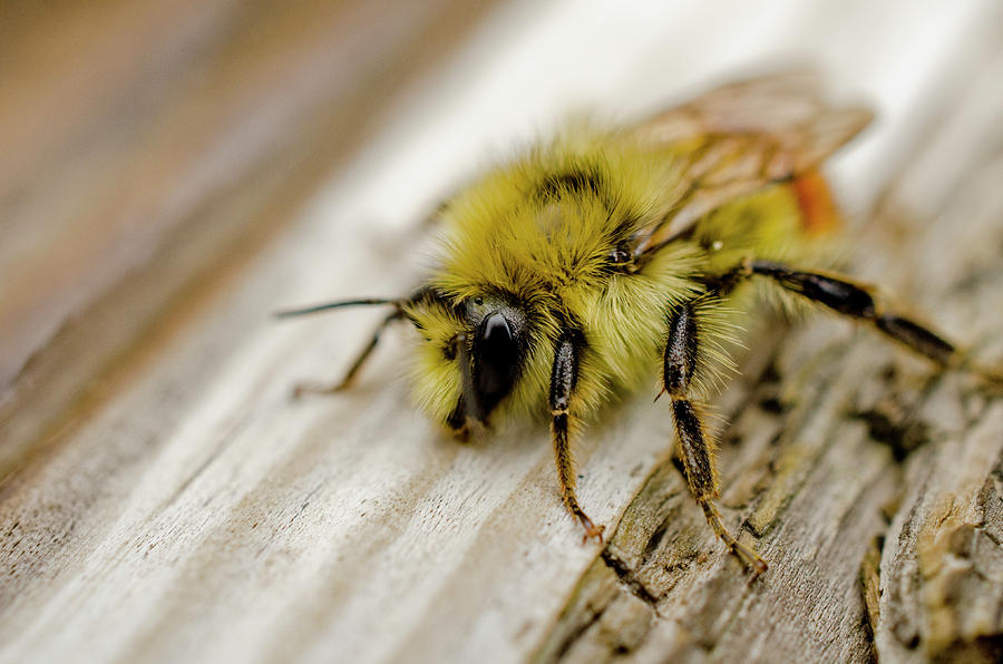 Bee Photograph - Bob The Bee by Nathan Carlsen