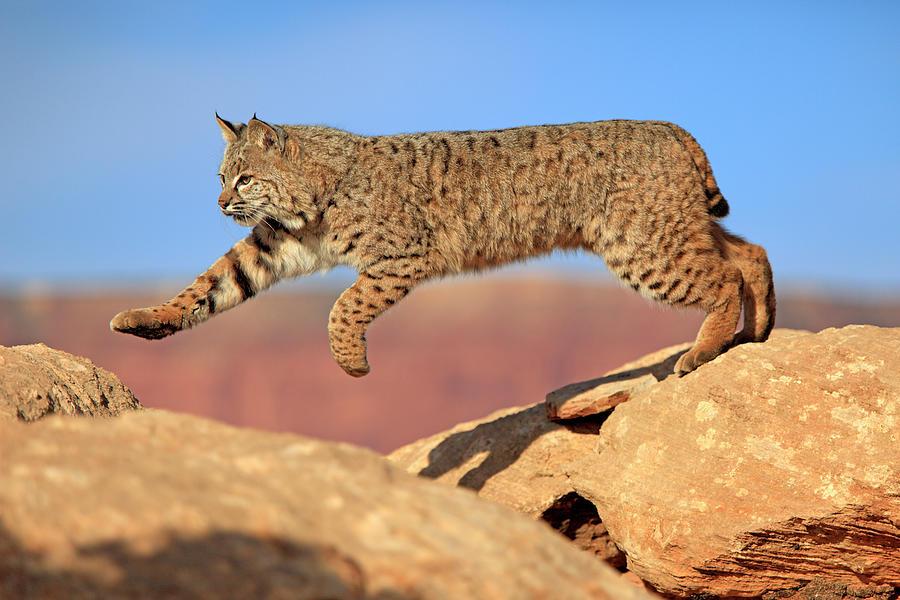 Bobcat Photograph by Tier Und Naturfotografie J Und C Sohns