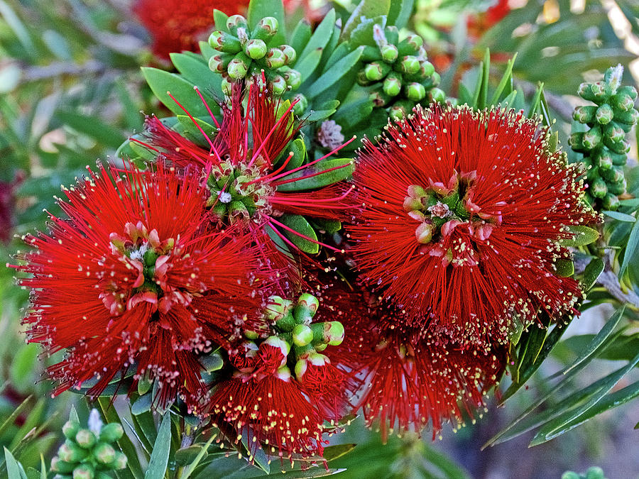 Bottle Brush at Saint Lukes Lutheran Church in Claremont, California  by Ruth Hager