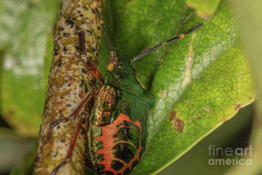 Bronze Shield Bug by Brian Roscorla