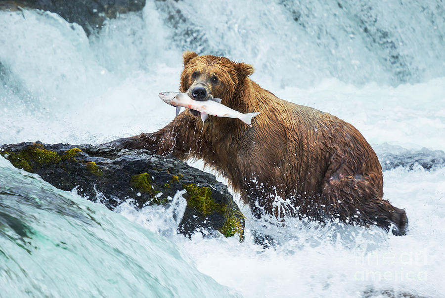 Grizzly Photograph - Brown Bear On Alaska by Galyna Andrushko