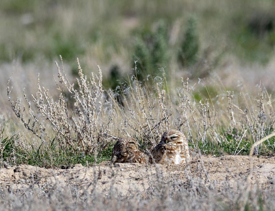 Burrowing Owls by Michael Chatt