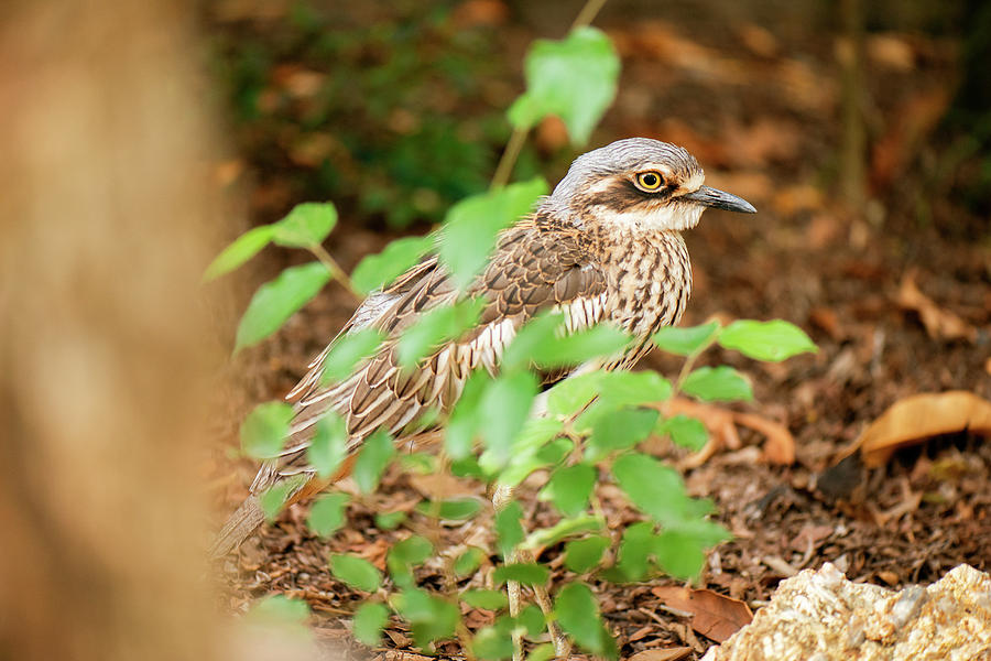 Animal Photograph - Bush Stone-curlew by Rob D Imagery