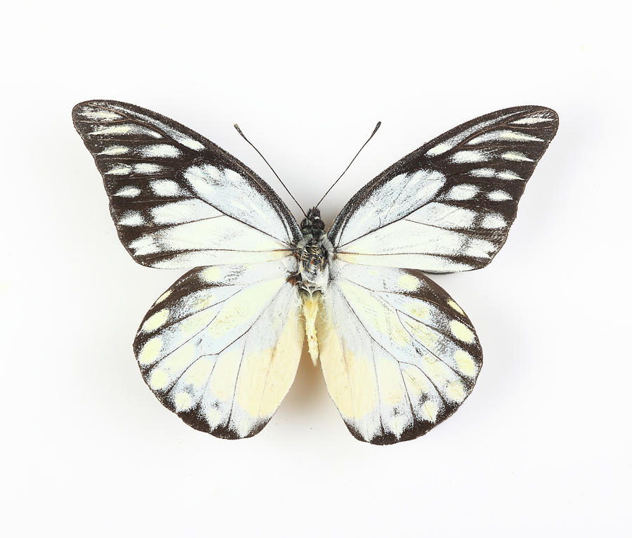 Butterfly Isolated On White Photograph by Real444