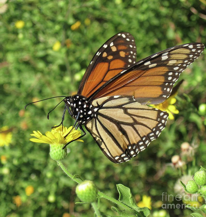 Butterfly Photograph - Butterfly by Megan Cohen