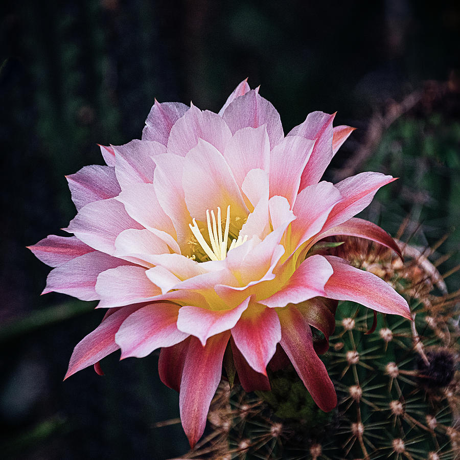Cactus Bloom in Pink by Julie Palencia