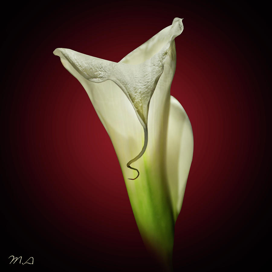 Flower Mixed Media - Cala Lily 2 by Mark Ashkenazi