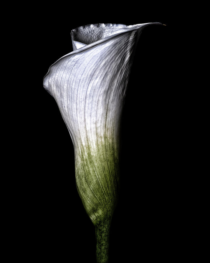 Calla Lily Photograph - Calla Lily by Lori Hutchison