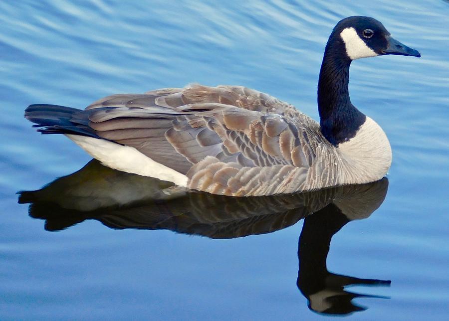 Canada Goose by Dan Miller
