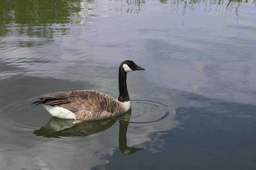 Canada Goose by Jean Evans