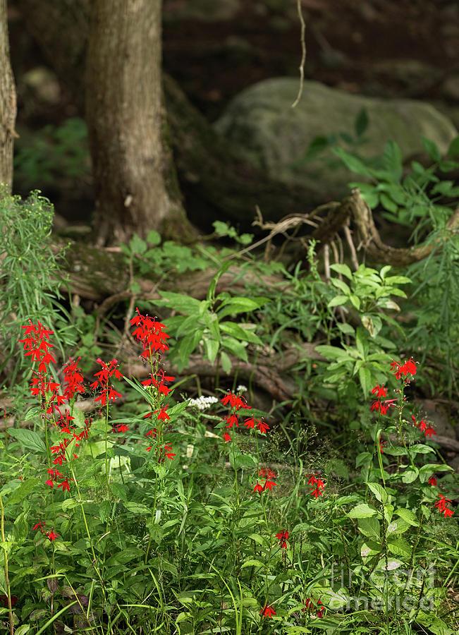 Cardinal Flowers by Les Palenik