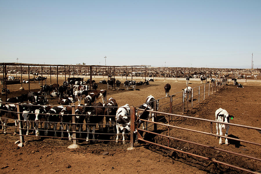Cattle Photograph by Simon Willms