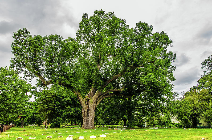 Centennial Oak, Salem Oak Tree by Louis Dallara
