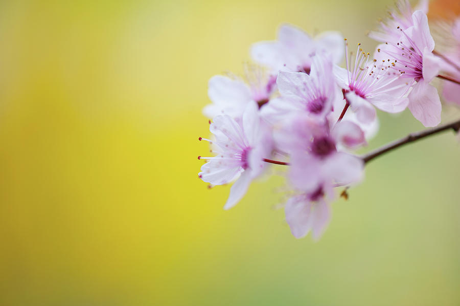 Cerry Blossom Photograph by Mmac72