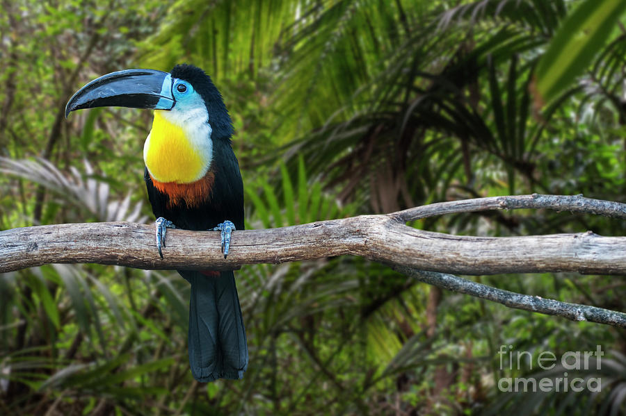 Channel-billed Toucan by Arterra Picture Library
