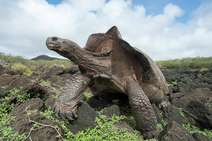 Chatham Island Tortioise, Galapagos Photograph by Tui De Roy