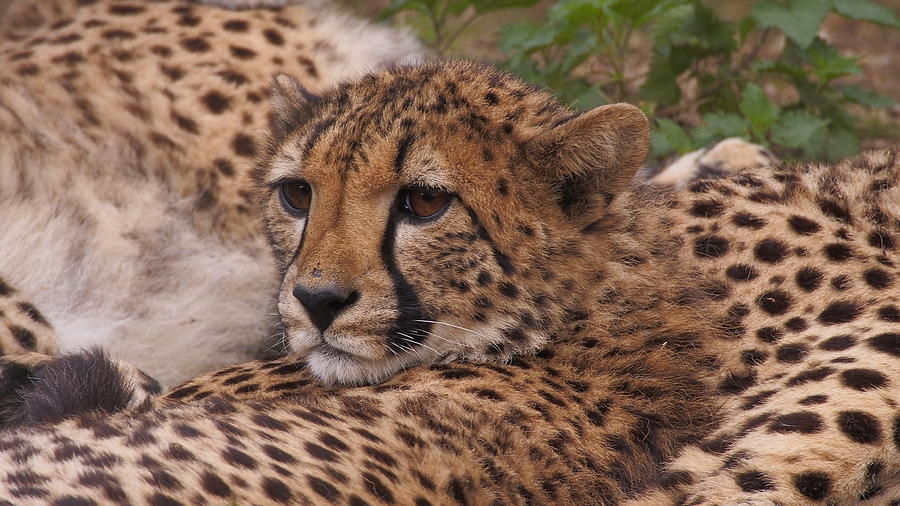 Cheetah family lying close together by Eye to Eye Xperience