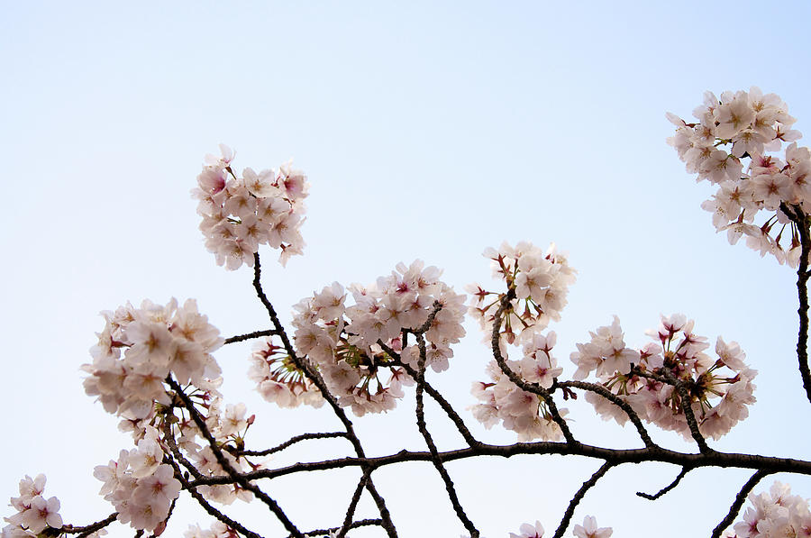 Cherry Blossom On Branch Photograph by Japan From My Eye