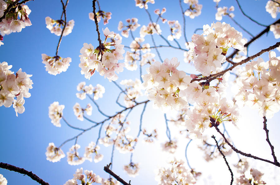 Cherry Blossoms Against The Blue Sky Photograph by Marser