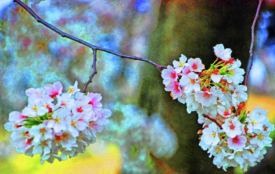 Cherry blossoms close-up #2 by Bill Jonscher