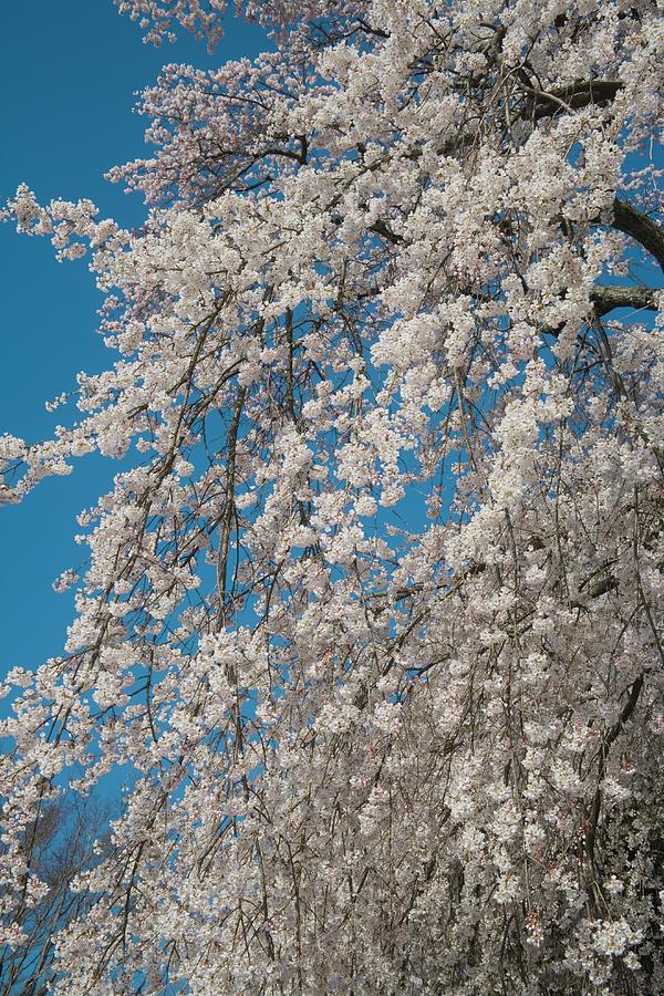 Cherry Blossomsprunus Pendula, Japan Photograph by Akira Kaede