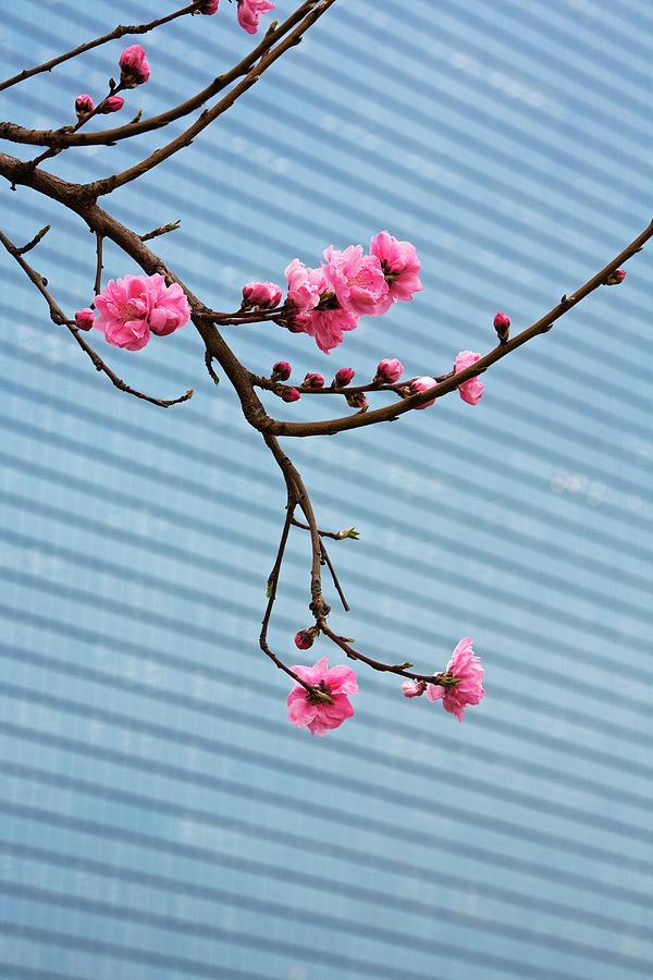 Cherry Blossom,with Building Backdrop Photograph by John W Banagan