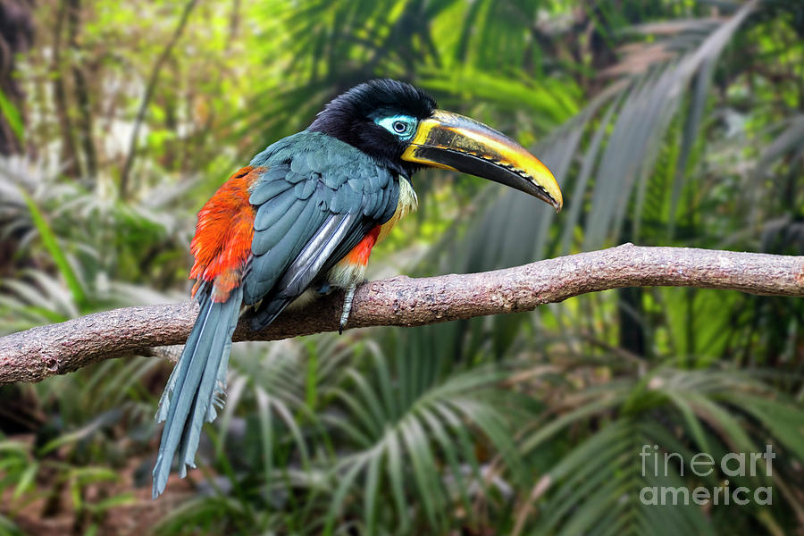 Chestnut-eared Aracari  by Arterra Picture Library