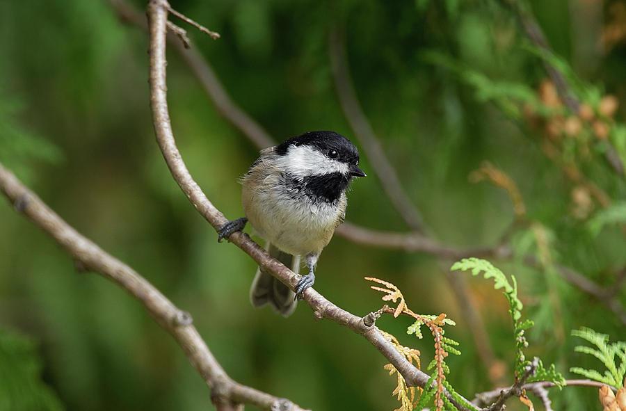 Chickadeelightful - Black-capped Chickadee - Poecile Atricapillu by Spencer Bush