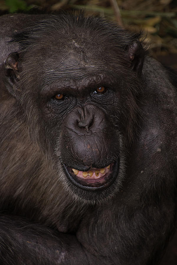 Chimpanzee by Kuni Photography