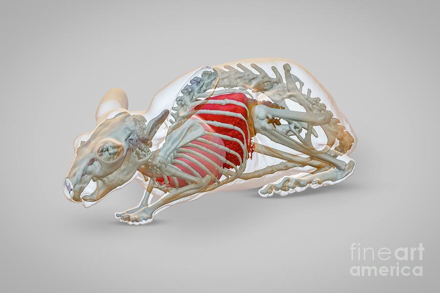 Chinchilla Photograph - Chinchilla Anatomy by Scott Birch/pixelbeaker/science Photo Library