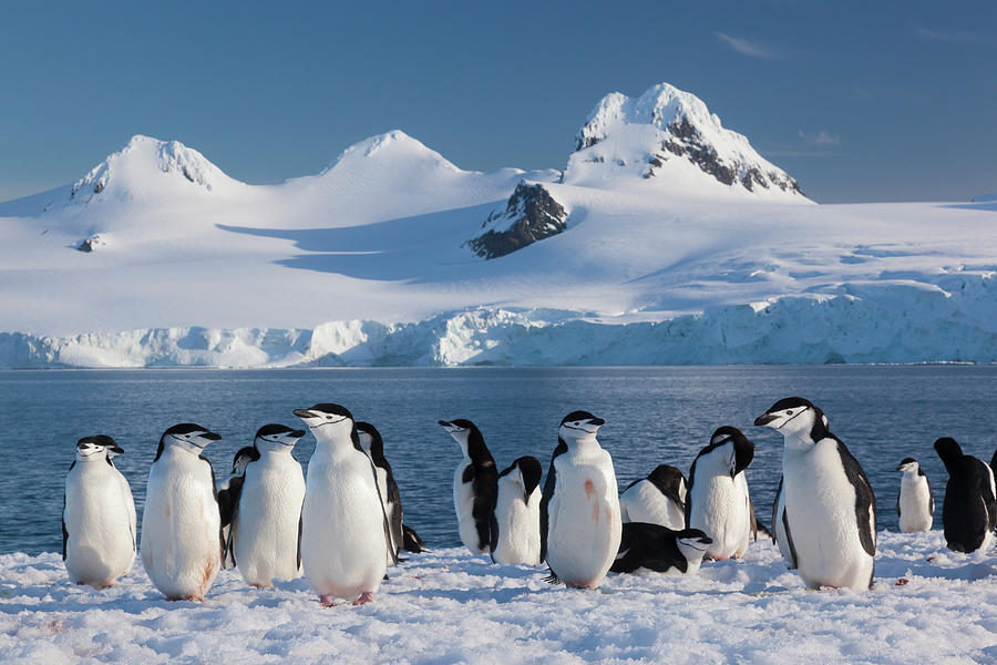 Chinstrap Penguins On Half Moon Island Photograph by Mint Images - Art Wolfe