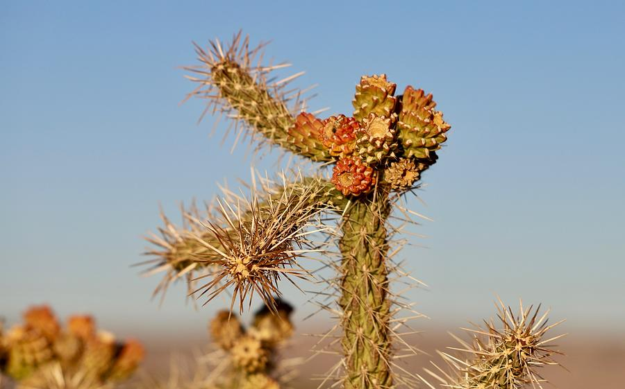 Cholla by Maria Jansson