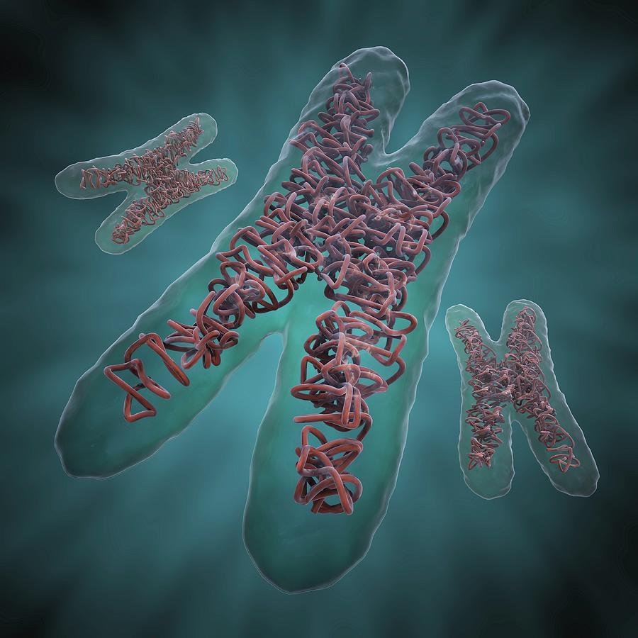 Chromosomes, Artwork Digital Art by Science Photo Library - Andrzej Wojcicki