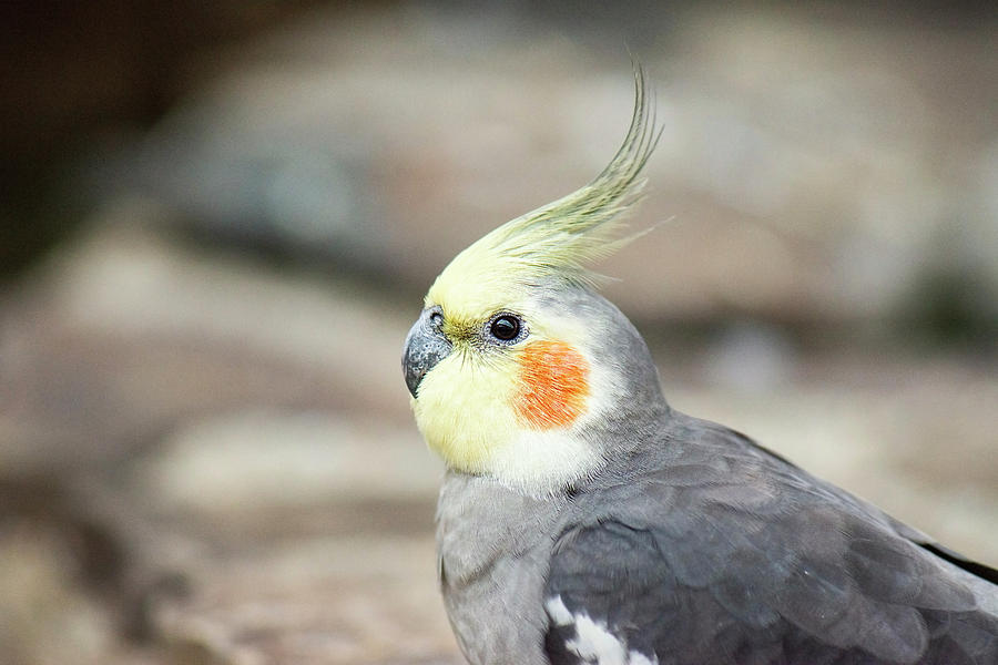 Cockatiel Photograph - Close Up Of A Cockatiel by Rob D Imagery
