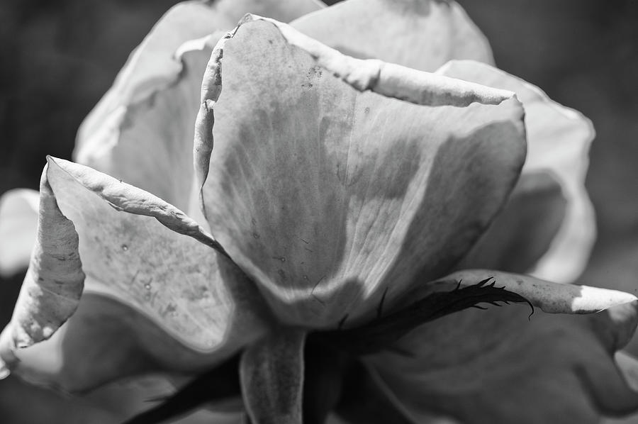 Horizontal Photograph - Close-up Of A Rose, Los Angeles County by Panoramic Images