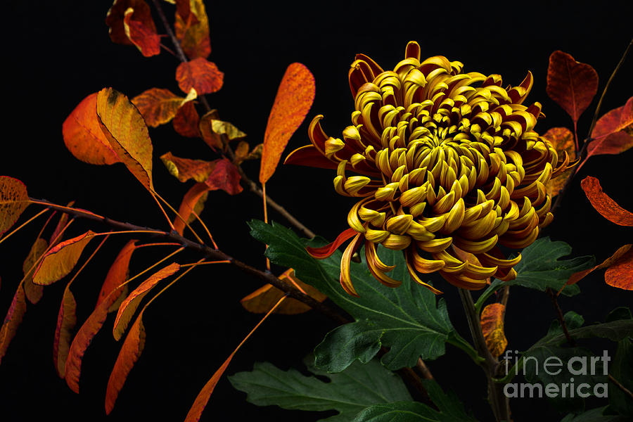 Macro Photograph - Close-up Of Autumn Dahlia Flower. Macro by Veroja