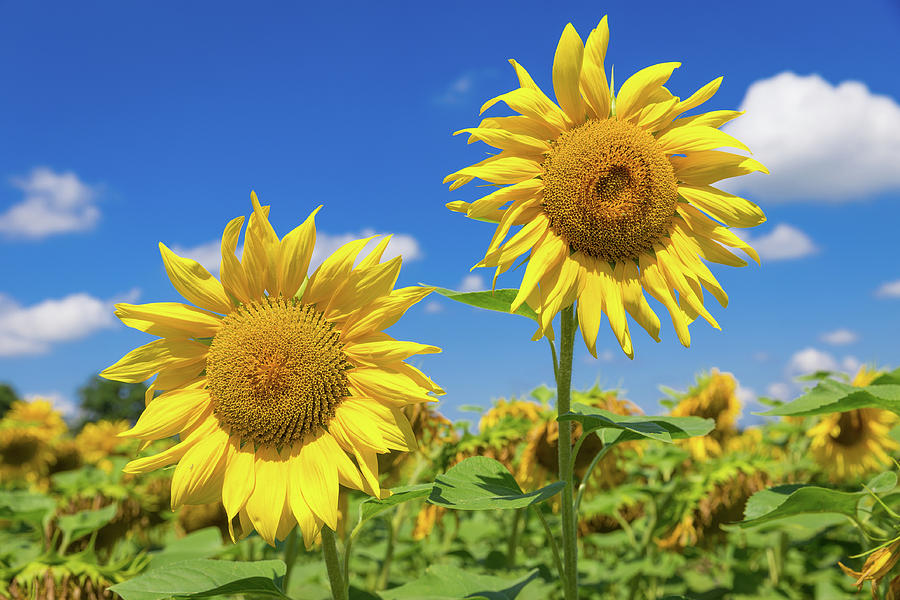 Close up of two big yellow sunflowers by Semmick Photo