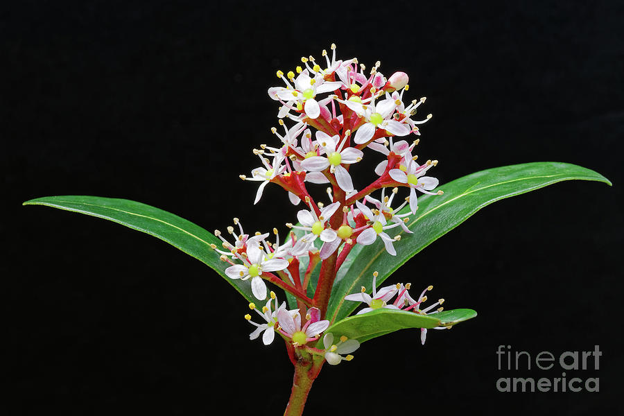 flowers shrub Japanese Skimmia japonica by Robert C Paulson Jr