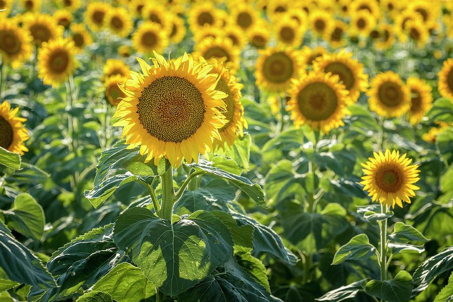 Colorado Sunflowers by Teri Virbickis