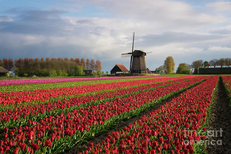 Tulips Photograph - Colorful rows of tulips in front of a windmill by IPics Photography