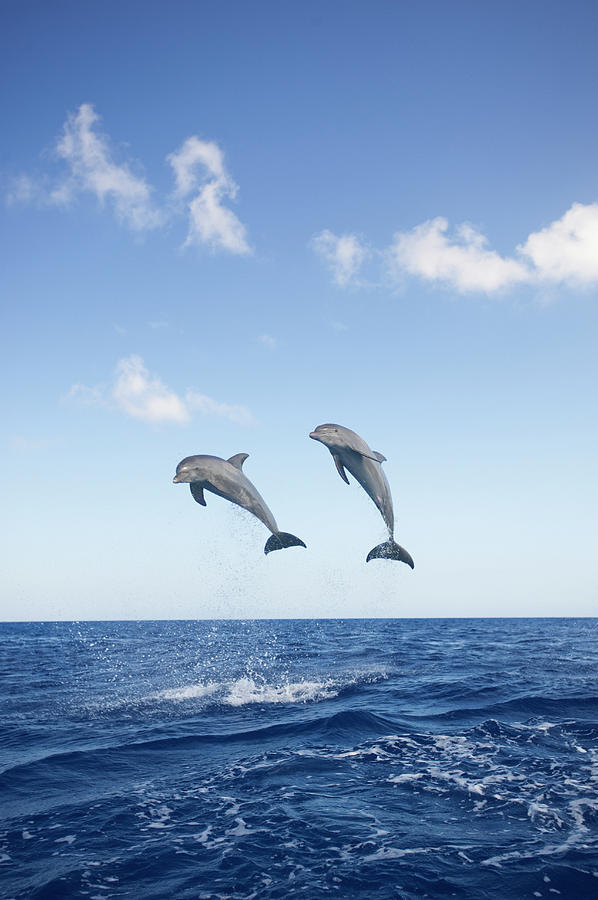 Common Bottlenose Dolphins Tursiops Photograph by Mike Hill
