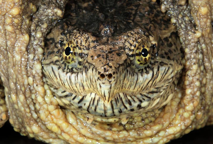 Animal Photograph - Common Snapping Turtle Chelydra 1 by Ivan Kuzmin