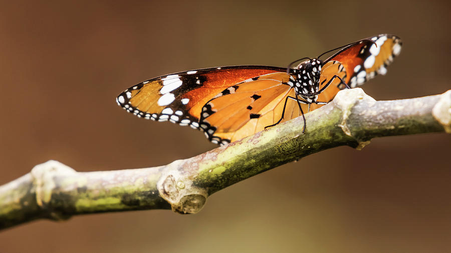 Common Tiger Butterfly by Vishwanath Bhat