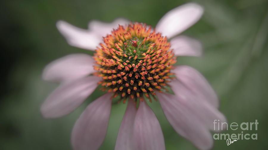 Cone Flower by Alana Ranney