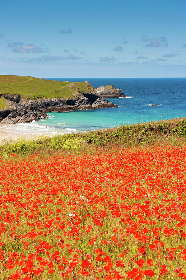 Cornish Poppy Fields iii by Helen Northcott