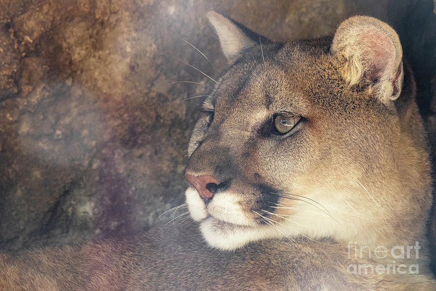 Animals Photograph - Cougar by Nicki Hoffman