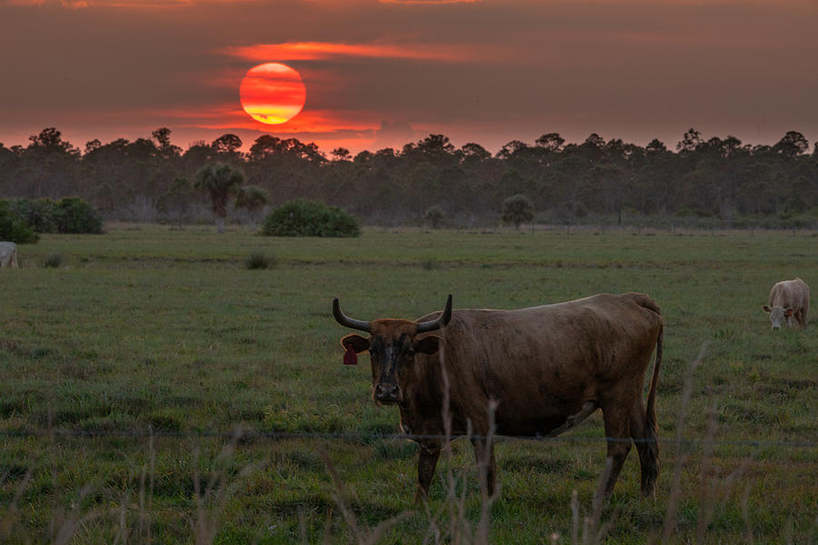 Cow Sunset Photograph by Michael Brown